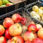 Саженцы яблонь с очень крупными плодами предложат на выставке «Осень на даче»